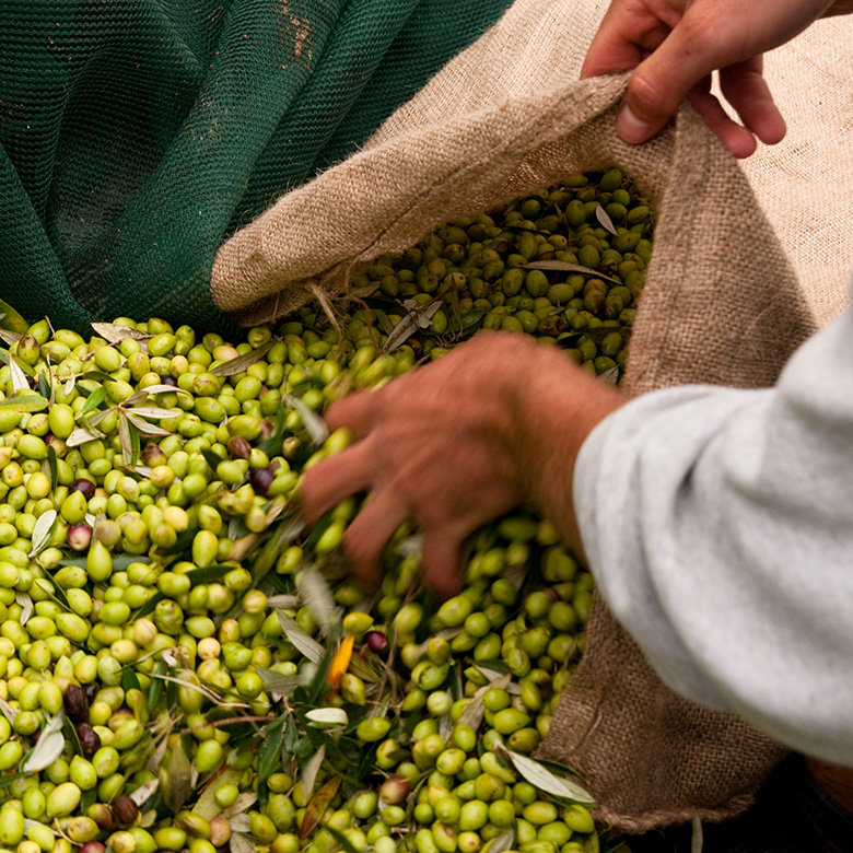 Olive-harvesting-3